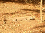 Komodo Dragon!  Looks alot bigger and more scary in the flesh!