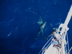 Audrey looking on as dolphins play on bow-wave.  Overhead pic taken by Alvie up the mast.